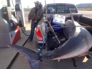800 Pound Florida Shark